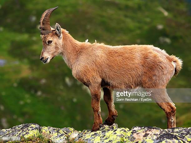 Side View Of Ibex Standing On Rock