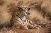 Male Bengal tiger with mouth wide open in snarling pose. Long curved incisor teeth clearly visible.