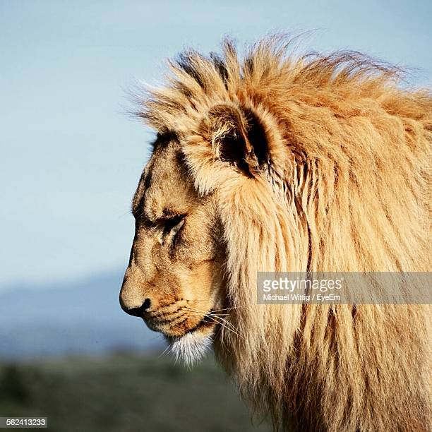 Side View Of Lion In Forest