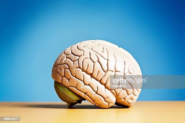 Side view of model brain on blue