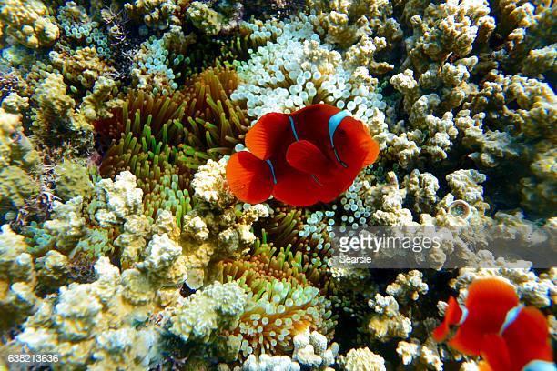 Side view of orange clown fish