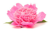 Side View of Pink Peony Isolated on White
