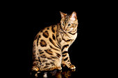 Side view of purebred Bengal cat.