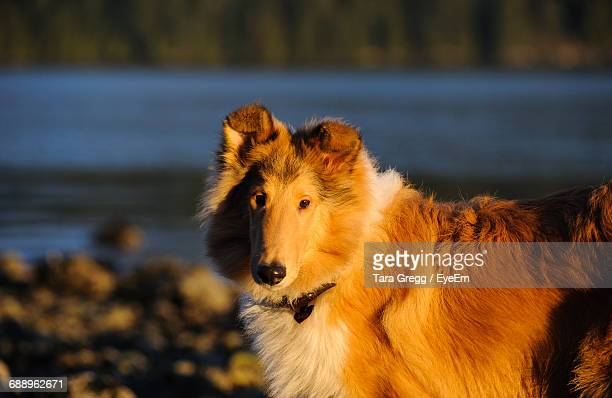 Side View Of Rough Collie