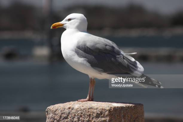 Side view of seagull standing on a pillar