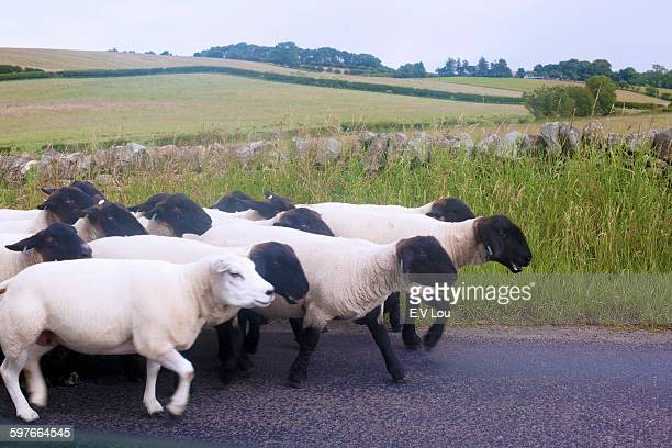 Side view of sheep on rural road, Cumbria, UK