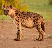 Full side view of spotted Hyena in its natural surroundings backlit.