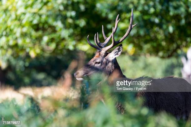 Side View Of Stag In The Wild