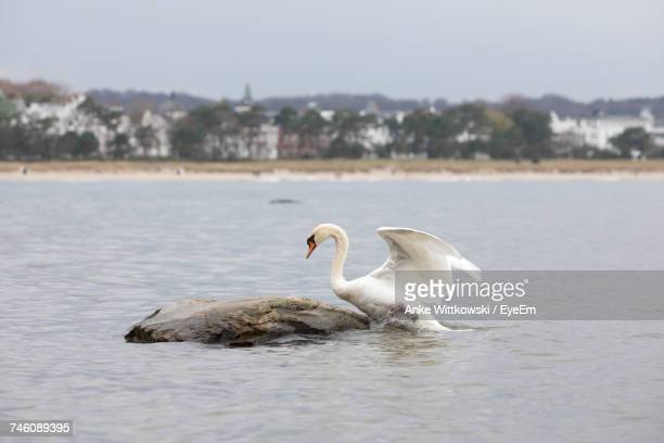 Side View Of Swan Amidst Lake