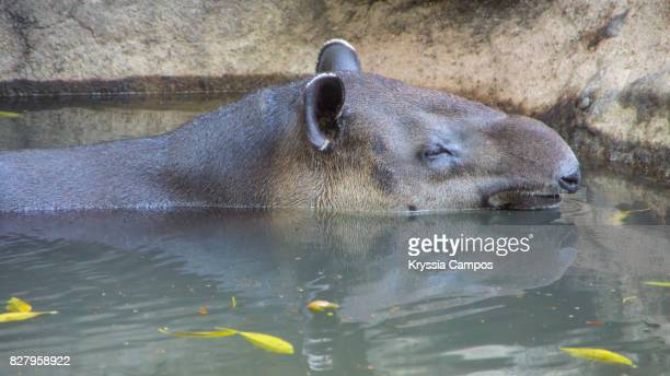 Side View of Tapir Resting in Pond