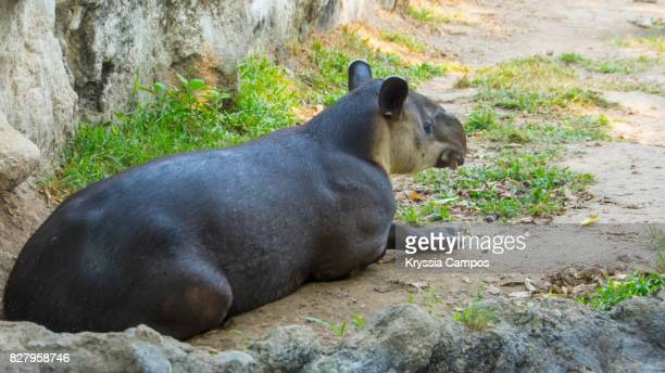 Side View of Tapir Resting On Field