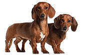 Side view of two Dachshunds, standing, white background.