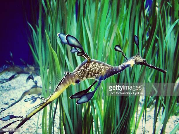 Side view of weedy sea dragon against water plant