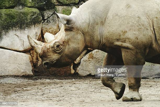 Side View Of White Rhinoceros In Ueno Park