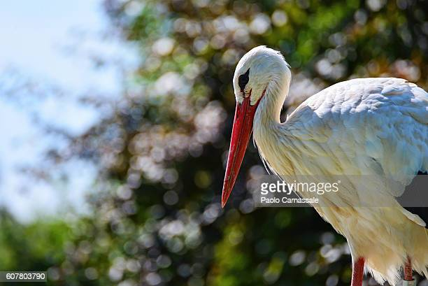 Side view of white stork.