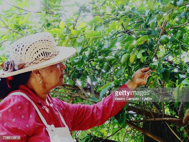 Side View Of Woman Plucking Fruits From Tree At Organic Farm