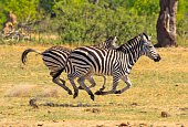 Side View Of Zebras On Landscape