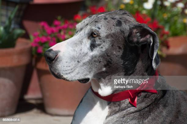 Side View portrait of Blue Merle Great Dane in the garden with red bow