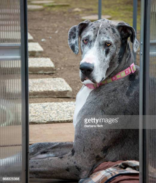 Side View portrait of Blue Merle Great Dane lying in front of greenhouse doors with head up