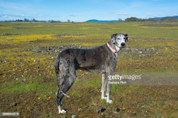 Side View portrait of Blue Merle Great Dane standing in the wildflower display at Table Mt. outside Cherokee, California