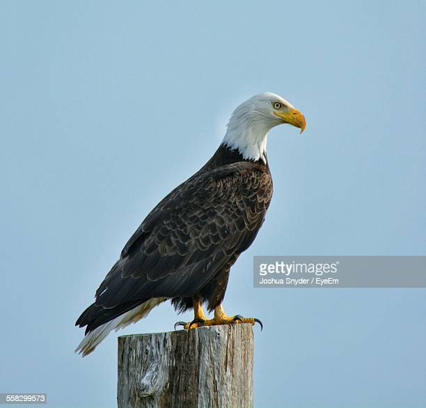 Side-View Of Bald Eagle