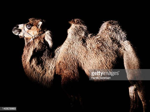 sideview of camel