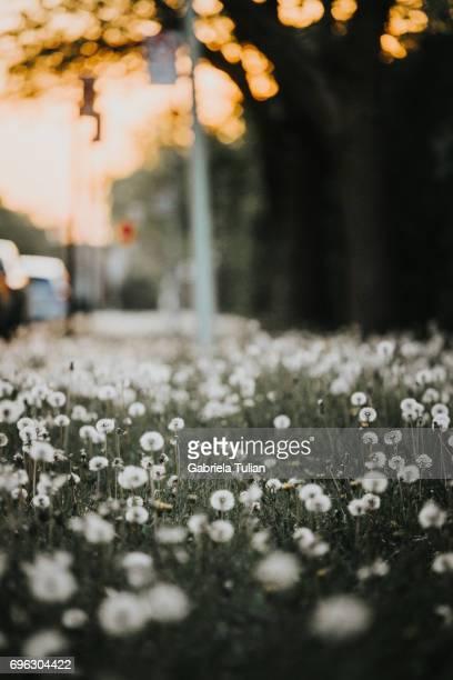 Sidewalk full of dandelions