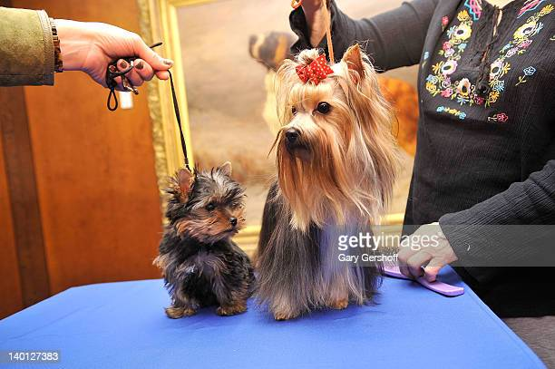 Sierra a Yorkshire Terrier puppy and Heidi a Yorkshire Terrier adult attend as American Kennel Club announces Most Popular Dogs in the US at American...