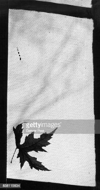 Sign Of Fall Lingers Into Spring This maple leaf swept onto the screen at home of Denver Post photographer John G White by last fall's winds has...
