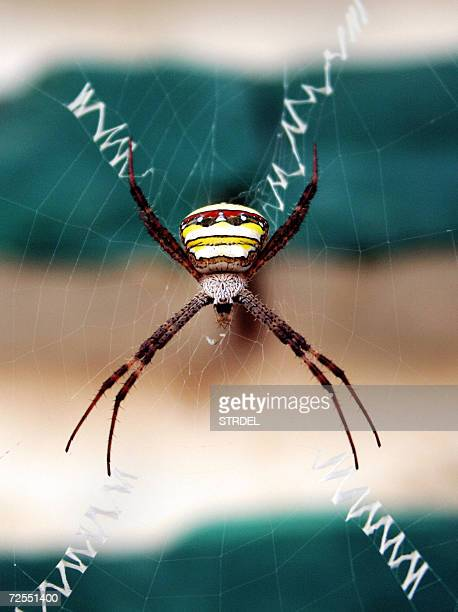 Signature Spider Argiope sp rests in cob web with her head down in Agartala capital of Indias northeastern state of Tripura 15 November 2006 This...