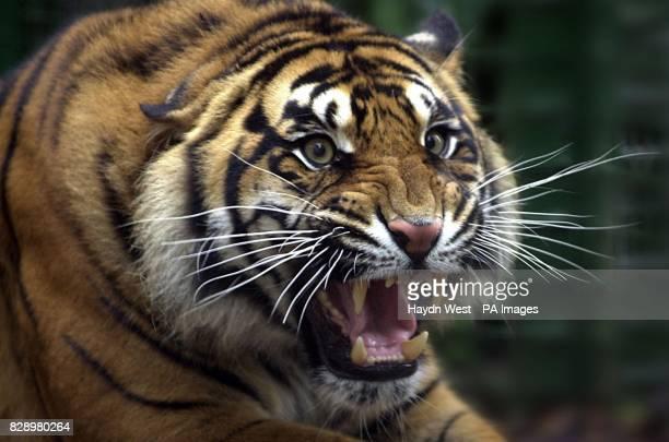 Sigra the Sumatran tiger at Dublin Zoo Ireland Habitat loss and illegal trade in animal parts threatens the Sumatran tiger the last of Indonesia's...