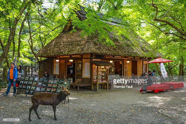 Sika Deer at Nara tea-house