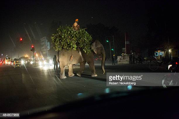 Sikh mahout or elephant handler guides an elephant across an intersection February 21 2014 in Amritsar India A grown elephant will eat 400 pounds of...