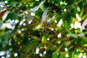 Tiger pattern spider