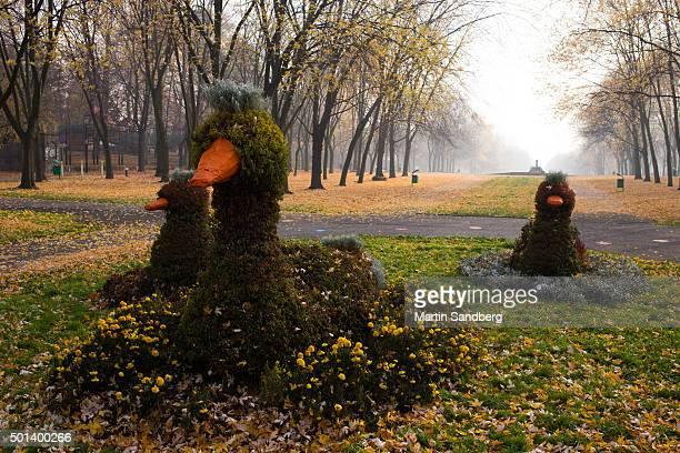 Silesian ducks