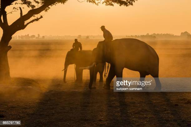 Silhouette elephant and mahout in Surin Province Thailand.