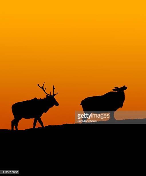 Silhouette horned Elk pair in the sunset