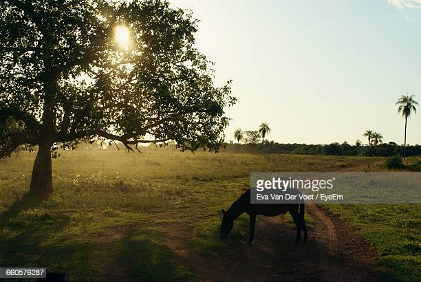 Silhouette Horse Grazing On Field During Sunset