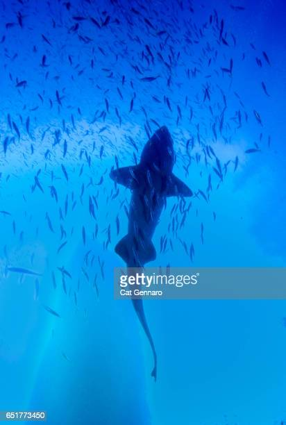 Silhouette of a Sand Tiger Shark