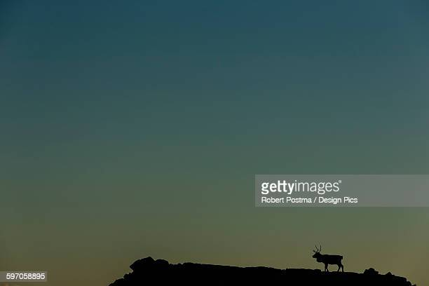 Silhouette Of A Solitary Reindeer Standing On A Rock At Sunset