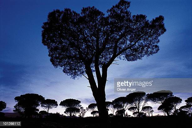 Silhouette of a stone pine