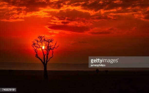 Silhouette of a tree at sunset, Masai Mara National Park, Narok, Kenya