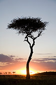 Silhouette of Acacia tree and sunset