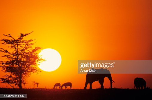 Silhouette of African elephants (Loxodonta africana), Kenya : Stock Photo