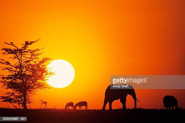 Silhouette of African elephants (Loxodonta africana), Kenya