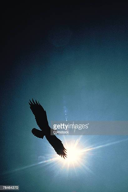 Silhouette of bald eagle flying in sky