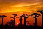 Silhouette of Baobab trees (Adansonia) in Madagascar. Location: Avenue de Baobab, Western Madagascar.