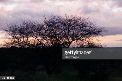 Silhouette of bare trees at dusk, Kruger National Park, South Africa : Foto de stock