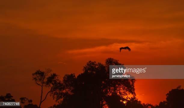 Silhouette of bird flying over treetops at sunset, Narok, Kenya