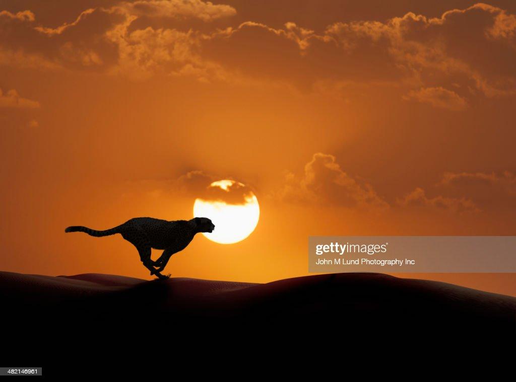 Silhouette of cheetah running in desert : Stock Photo